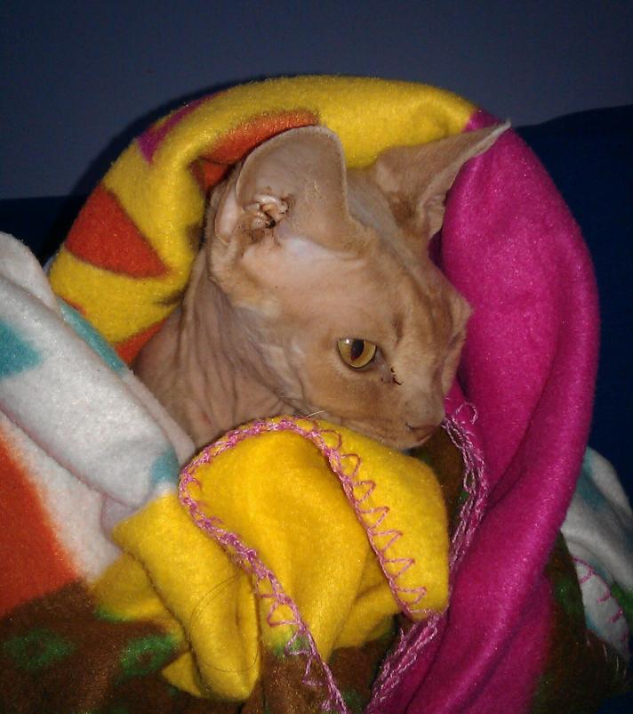 Cat wrapped in a blanket