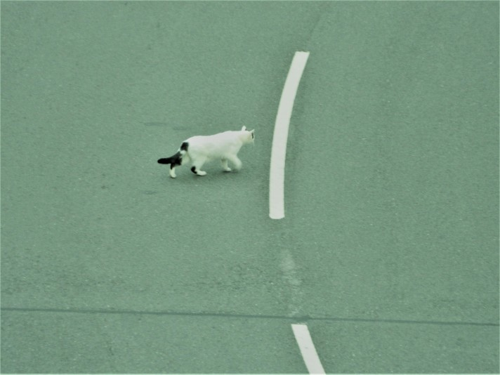 White cat crossing the road
